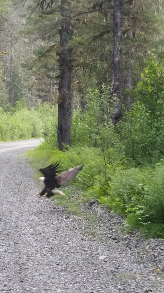 Alice Smith Bald Eagle 1