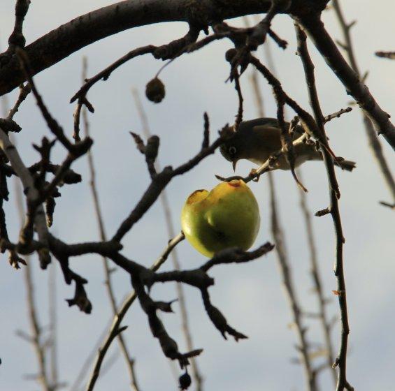 Lay over apples providing a backyard shmorgasborg long into the winter.
