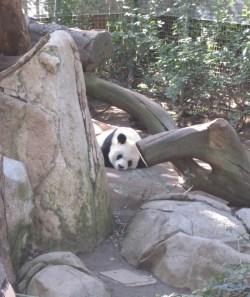 sandiegozoo-panda-21413