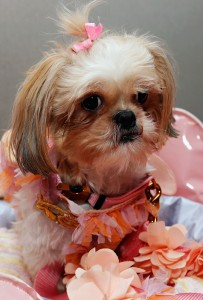 Dogs-in-clothes-ballerina