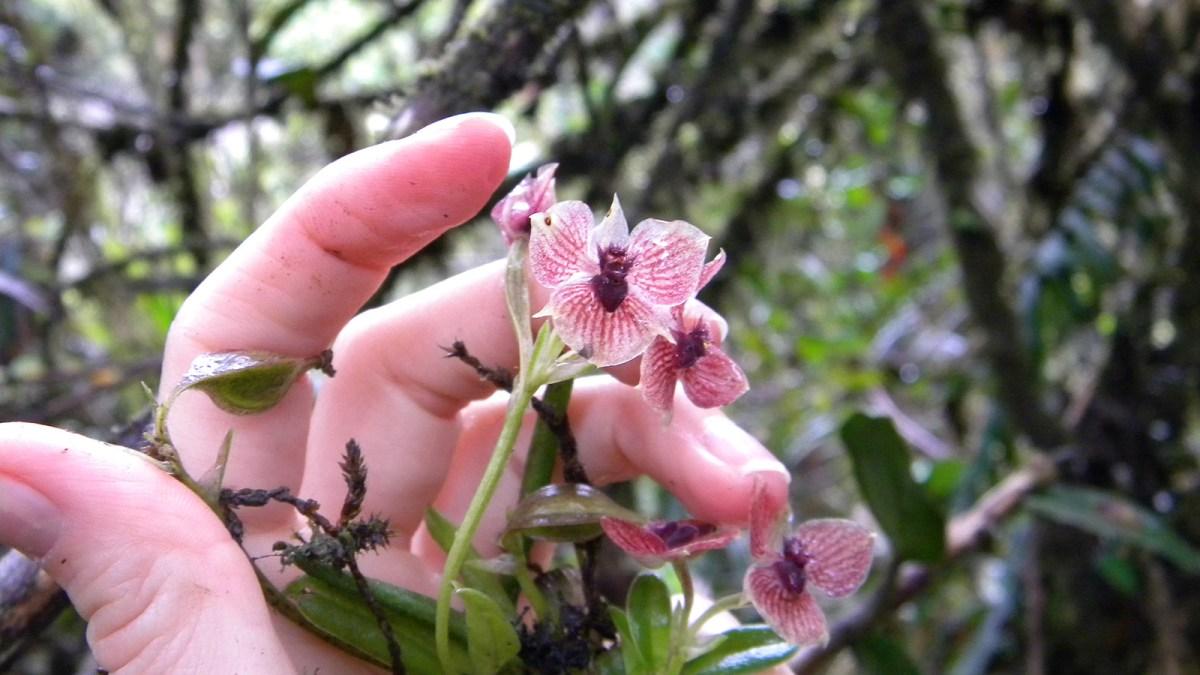 Een nieuwe 'duivelse' orchidee ontdekt in Colombia