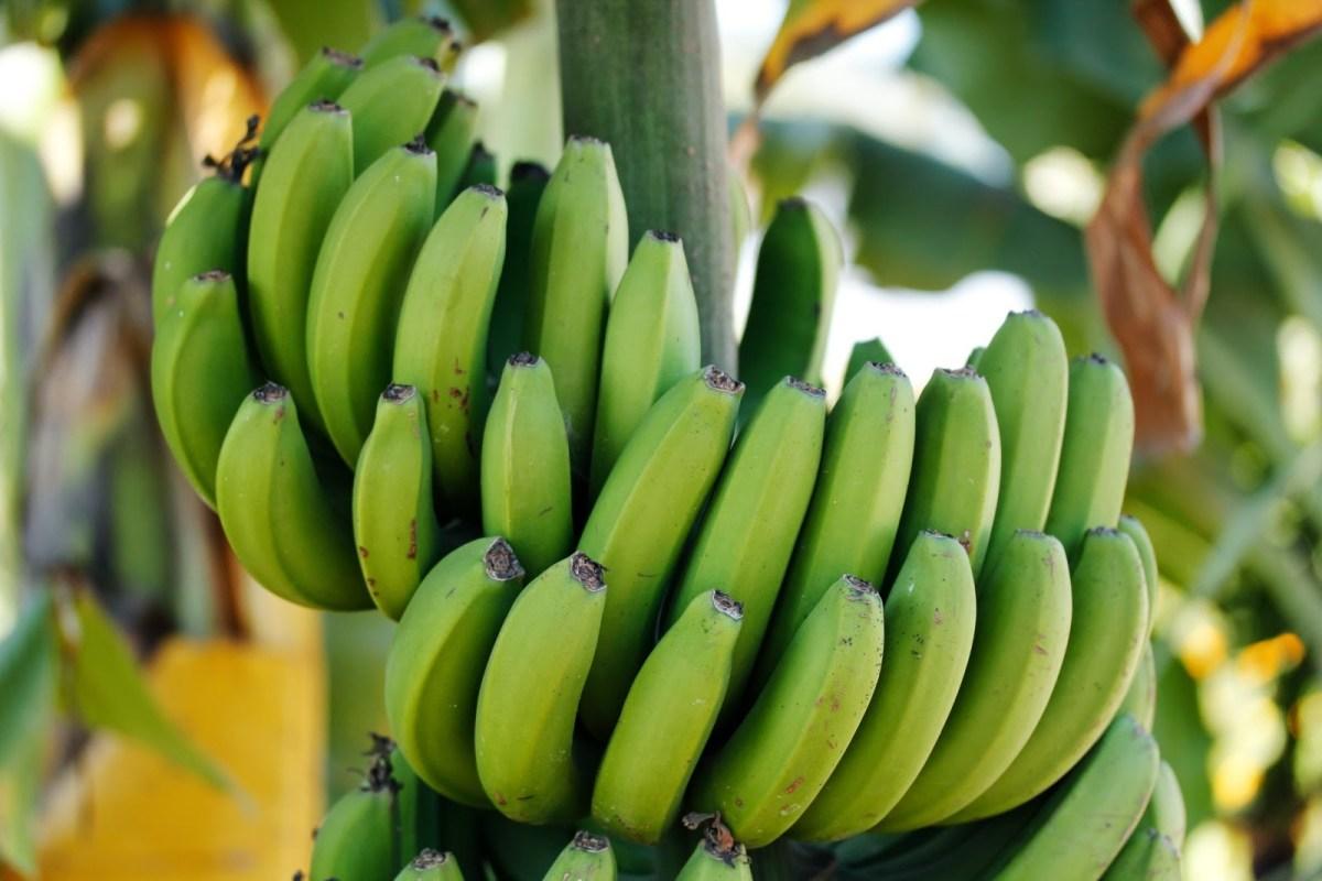 Colombia exporteert 73% van haar bananen naar de EU