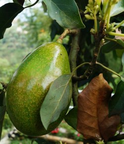 Europese Unie investeert in Colombiaanse avocadoteelt