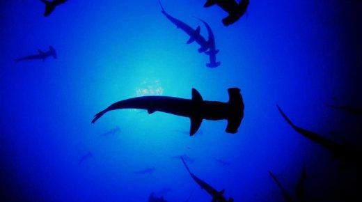 Colombiaanse minister van Landbouw wil misverstand haaienvinnenquotum uit de weg ruimen