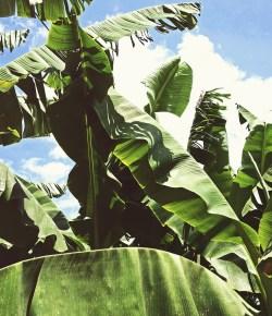 Colombia handhaaft bananenproductie ondanks COVID-19 en Panamaziekte