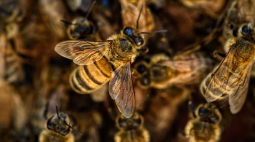 Colombia ontwikkelt nieuw supervoedsel dat bijen beschermt tegen pesticiden