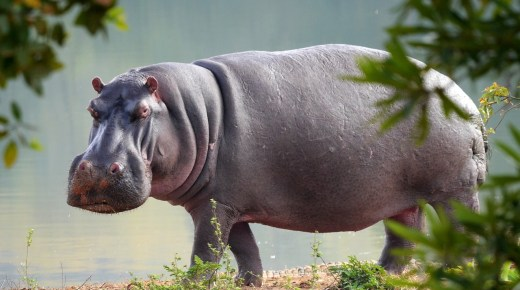 Natuurbeheer steriliseert de Nijlpaarden van Pablo Escobar