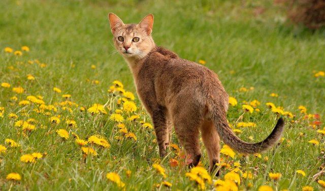 gatochausie