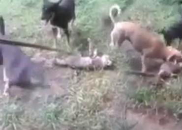 soldados gatos perros video asesinos