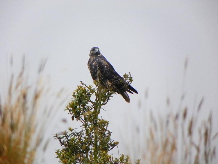 Aguilucho Nevado Santa Isabel - Avistamiento de aves - Risaralda Colombia - Ornitología - Global Big Day