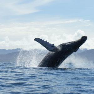 Bahía Solano - Whale Watching Plan - Choco Colombia - Bahia-Solano-whales-yubartas-tourism-travel