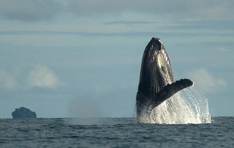 Humpback Whales - Nuqui Choco - Colombian Pacific - Tourist Plans - ColombiaTours