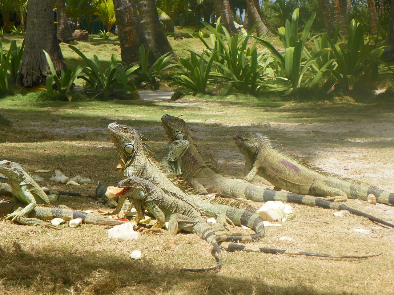 Iguanas - Tour Johnny Cay - Colombia - ColombiaTours.Travel - San Andrés Islas