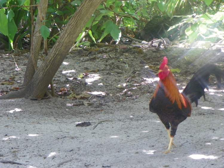 Rooster on the Island