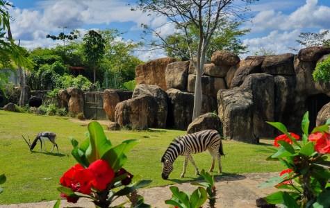 Zebras - BioParque Ukumarí - Planea tu viaje a Colombia con ColombiaTours.Travel
