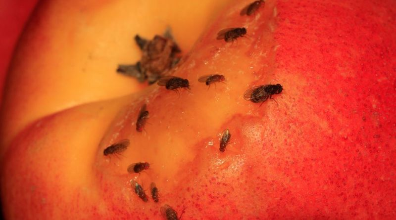 Como hacer una trampa para Moscas de la fruta