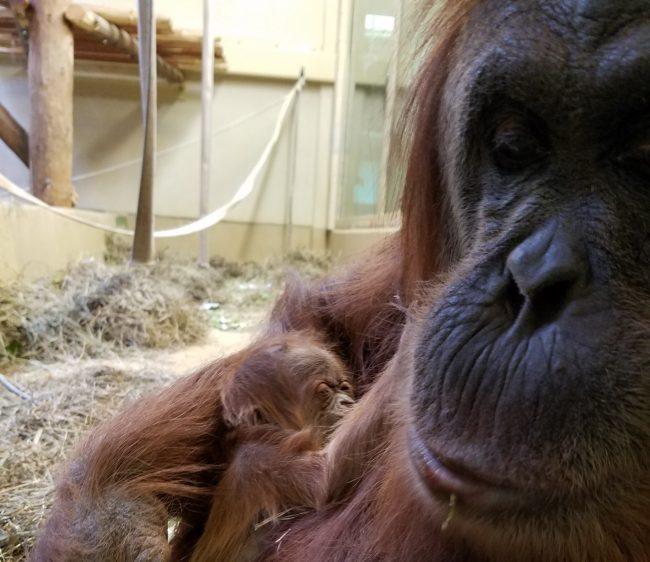 Jason Momoa Fort Collins: Cheyenne Mountain Zoo Welcomes Birth Of Baby Sumatran