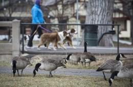 duck disease denver