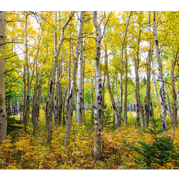 "Colorado Backcountry Forest 32""x48""x1.25"" Premium Canvas Gallery Wrap"
