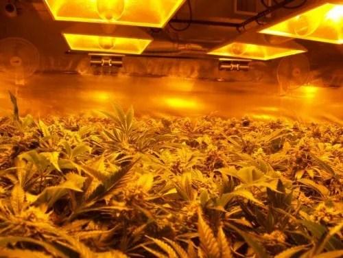 medical marijuana tours