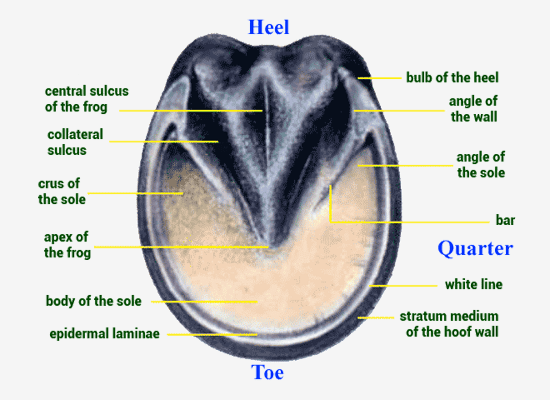 Hoof Anatomy - Bottom