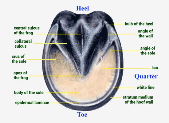 Hoof Anatomy - Bottom