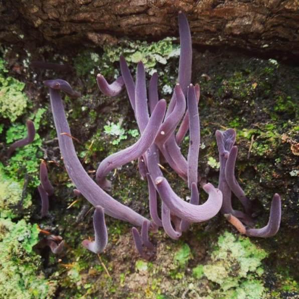 Clavaria purpurea