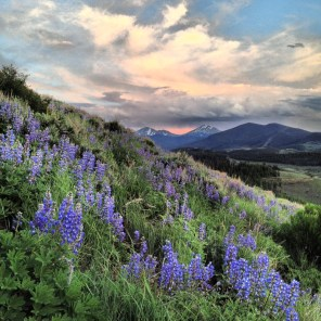 Wild lupines covering the lower slopes of Tenderfoot Mountain, near Dillon, Colorado.