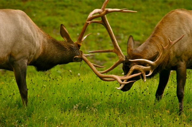 An early elk tussle at 10,759-foot Milner Pass in Rocky Mountain National Park.