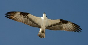 An osprey soars from its next in a dead lodgepole pine near Frisco, Colorado.