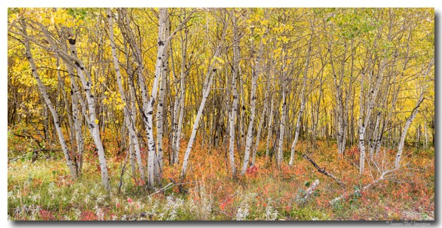 Colorful Aspen Tree Forest Panorama View Art Prints