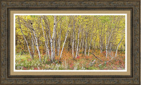 Colorful Aspen Tree Forest For Panorama View Framed Prints