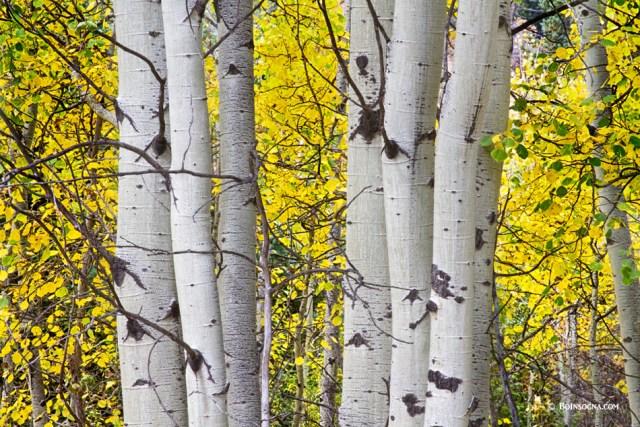 olorful Autumn Aspen Tree Colonies