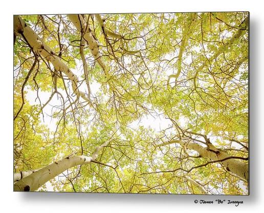 Golden Aspen Forest Canopy Metal Wall Art Print