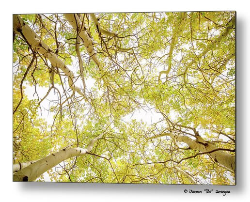 Golden Aspen Forest Canopy Metal Print