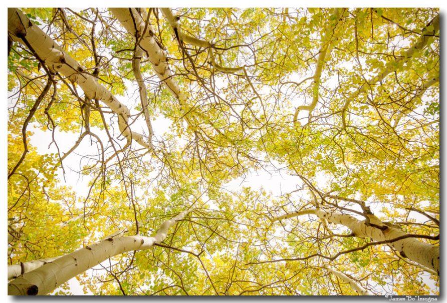 Golden Aspen Forest Canopy Art Print