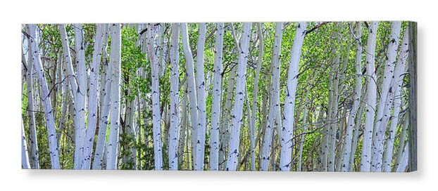 White Wilderness Panorama Canvas Print