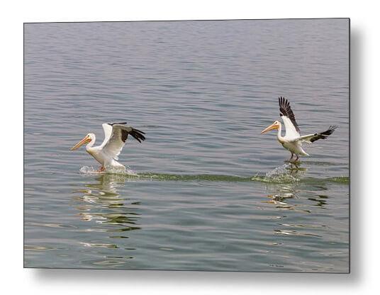Double Pelican Splash Down Metal Print