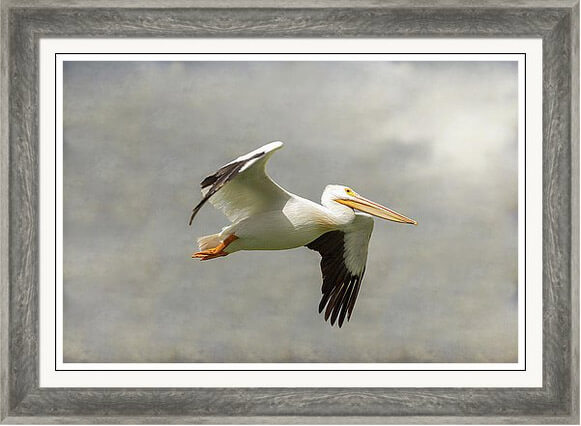 Pelican In Flight Framed Print
