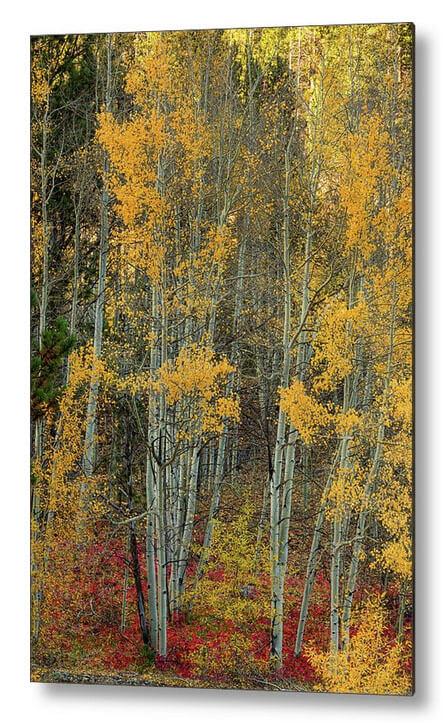 Red Aspen Forest Wilderness Floor Metal Print