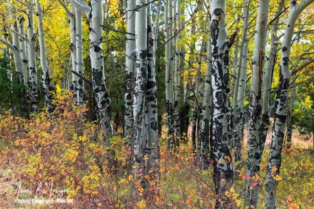 Elk Tree Markings - Autumn Aspen Trees with tree bark scraped markings on the trunk of the trees. Bull elk removes the velvet and polishes his antlers by rubbing them on trees, shrubs and even the ground.