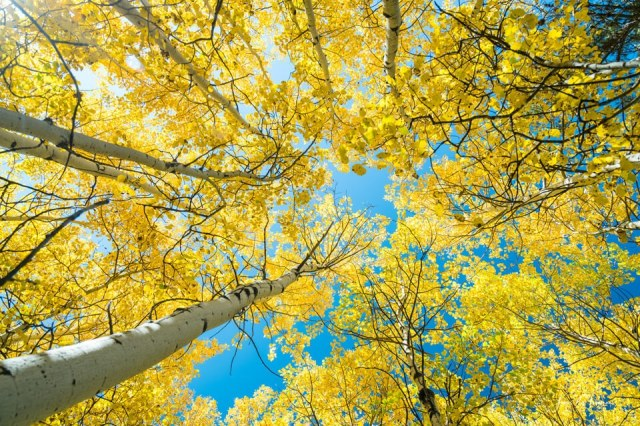 Golden Aspen Tree Forest Canopy - Beautiful golden aspen tree forest with a view looking up at the blue sky.