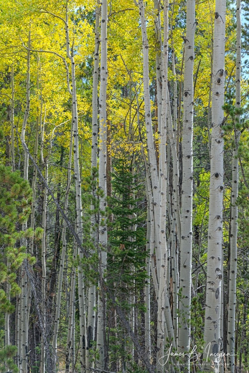 Tall Aspens Art Print