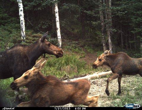 Moose. nty