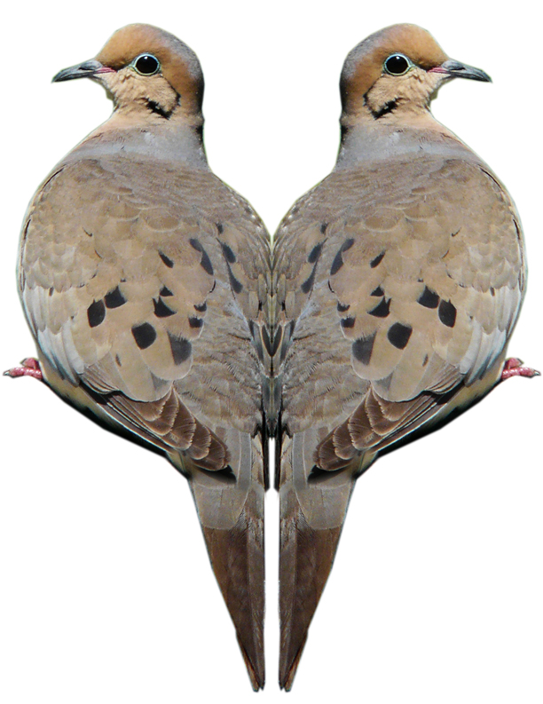 Mourning Dove Image 1