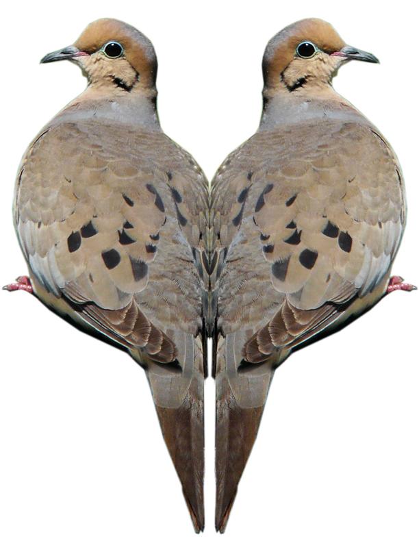 Mourning Dove Image 1