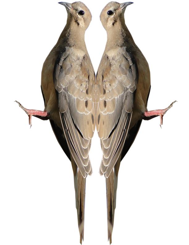 Mourning Dove Image 2