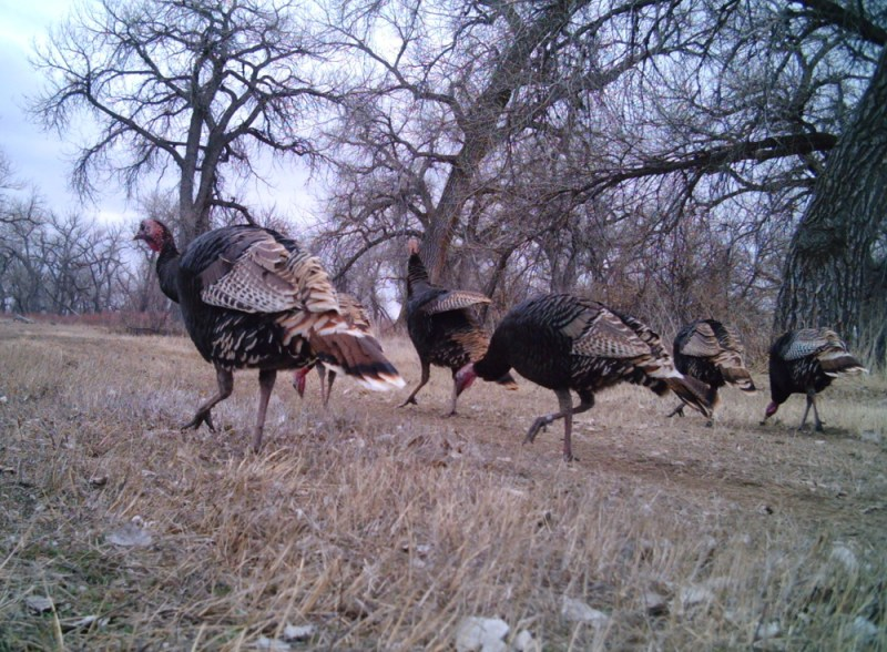 Rio Grande turkeys near South Platte River in eastern Colorado.