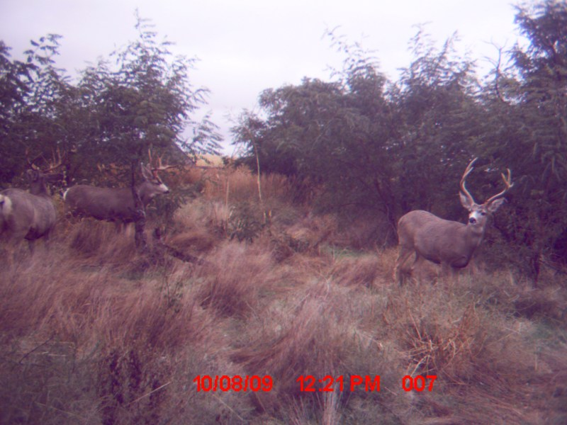 Mule deer bucks in Yuma County.
