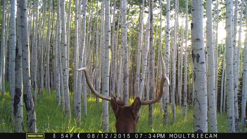 A bull elk in Pitkin County.